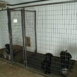 British Black Labradors in Minnesota