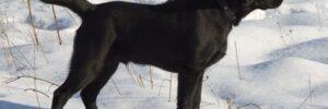 Hunting Labrador in Snow